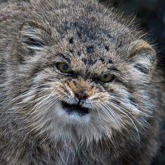 Le Chat de Pallas : définitivement le chat le plus expressif au monde ! La preuve en images.