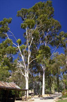 English: Lemon-scented Gum (Corymbia citriodora) in the Botanic Garden Zoo (Also called Wagga Zoo) at the Wagga Wagga Botanic Gardens.