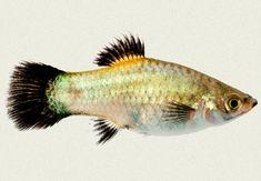 Turtle Aquarium, Big Aquarium, Tropical Fish Aquarium, Freshwater Aquarium Fish, Fish Ocean, Platy Fish, African Cichlids, Colorful Fish, Betta Fish