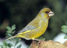 Verderón, una de las especies más frecuente en bosques y jardines de España.