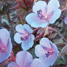 Hardy Geranium pratense 'Midnight Blue' - Single Flowering Hardy Geraniums - The Vernon Geranium Nursery Blue Geranium, Perennial Geranium, Cranesbill Geranium, Hardy Geranium, Container Gardening Vegetables, Succulents In Containers, Container Flowers, Container Plants, Vegetable Gardening