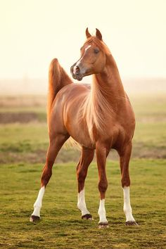 Arabian horse with four white socks. - Bashir Al Shaqab, *Marwan Al Shaqab x SWF Valencia. - Photo by Robert Peek All The Pretty Horses, Beautiful Horses, Animals Beautiful, Horse Photos, Horse Pictures, Wilde Mustangs, Arabian Stallions, Andalusian Horse, Friesian Horse