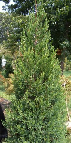 59 Best Evergreens For Tight Spaces Images Trees Shrubs 400 x 300