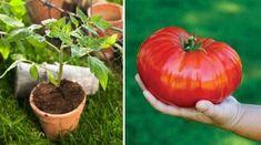 Dodržte pár zásad a tešte sa z doslova gigantickej úrody Garden Art, Pumpkin, Gardening, Vegetables, Terrarium, Gardens, Garten, Apple, Terrariums