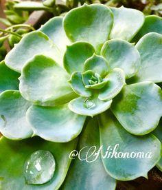 七福神の画像 by Nikonomaさん|多肉生活と自己流と多肉植物 (2015月8月11日)|みどりでつながるGreenSnap