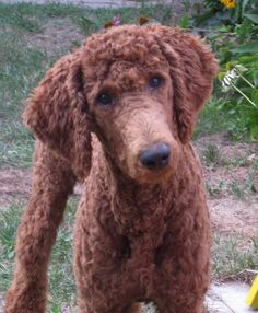 so cute red poodle ...........click here to find out more http://googydog.com