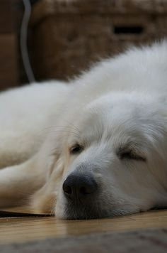 Love this breed Great Pyrenees. Sleeps all day but loves to be cuddled like crazy!