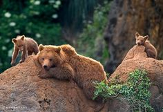 Grizzly Bears, Yellowstone