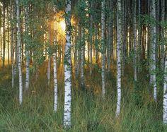 Sunbeam through Birch Forest - Fototapeter & Tapeter - Photowall