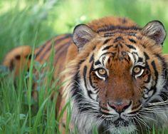 Image from http://tygri-svet.wbs.cz/37_original.jpg.
