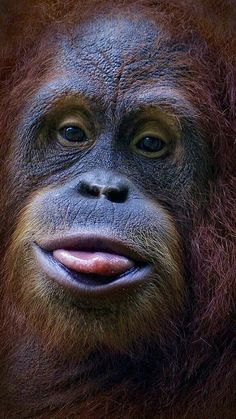Orangutan by Tramont_ana Animals Of The World, Animals And Pets, Baby Animals, Funny Animals, Cute Animals, Primates, Mammals, Beautiful Creatures, Animals Beautiful