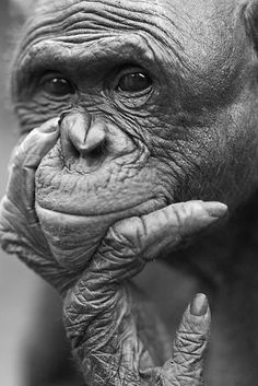 MONKEY....BONOBO.....CONGO.....PHOTO BY ANUP SHAH.....PARTAGE OF PHOTO CORNER.....ON FACEBOOK......