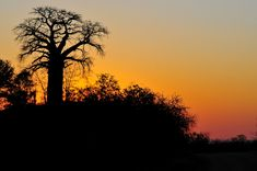 Baobab Silhouette taken on Baobab Hill on the near Pafuri Africa Silhouette, Eagle Silhouette, Tree Silhouette, Kruger National Park, National Parks, African Tree, Silhouette Pictures, African Sunset, Baobab Tree