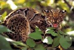 The Marbled Cat, ardofelis marmorata. It's again about the same size as a house cat, but it likes to hunt while climbing around in trees!South and Southeast Asia. Since 2002 it has been listed as vulnerable by IUCN as it occurs at low densities, and its total effective population size is suspected to be fewer than 10,000 mature individuals, with no single population numbering more than 1,000.