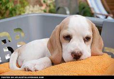 lemon beagle!