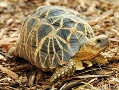 #Wildlife Conservation Society (WCS) has pledged to work with all of its institutions to save at least half of the world's most 25 endangered #turtles. Photo: The Burmese star tortoise (Geochelone platynota) | Photo Credit: Brian D. Horne/Wildlife Conservation Society.