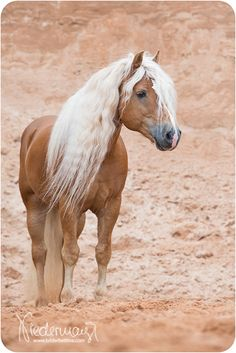 Beautiful Horse without Saddle and Bridle Haflinger Horse, Andalusian Horse, Friesian Horse, Arabian Horses, Most Beautiful Horses, All The Pretty Horses, Animals Beautiful, Palomino, Clydesdale