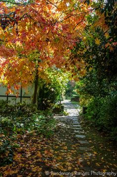 Loving the autumn colours at this beautiful Edna Walling garden. And all the pathways criss crossing across the 3 acre property. Just a joy to walk along. Australian Garden, Stone Path, Autumn Colours, Native Plants, Garden Styles, Pathways, Garden Inspiration, Curb Appeal, Garden Plants