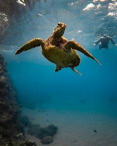 Wild Creatures, Ocean Creatures, Animals Beautiful, Cute Animals, Turtle Habitat, Red Eared Slider, Breathing Underwater, Under The Ocean, Turtle Beach