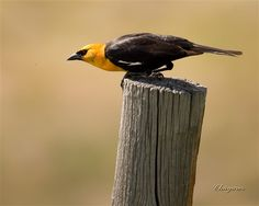 Yellow-headed Blackbird     Manitoba