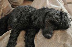 Minature Black Poodle ( Sasha Joy Neroshchin)