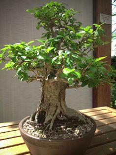 RK:bonsai   Flickr - Photo Sharing!
