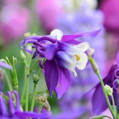 Aquelegia 'Blue Star' ... #flowers #blomster #garden #clausdalby