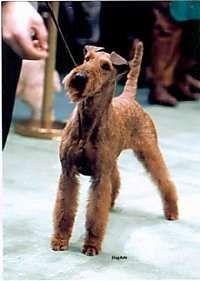 Irish Terrier  (Irish Red Terrier)