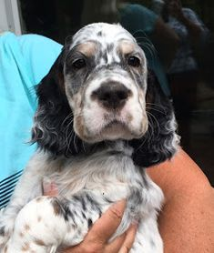 English Cocker Spaniel Puppies, English Setter Puppies, English Setters, Cute Puppies, Cute Dogs, Puppy Room, Spaniels, Dogs Of The World, Mans Best Friend