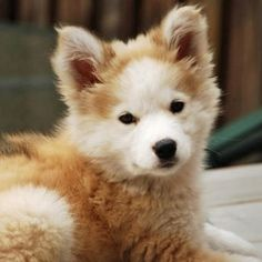 Golden Retriever and Huskey Mix. ADORABLE!!