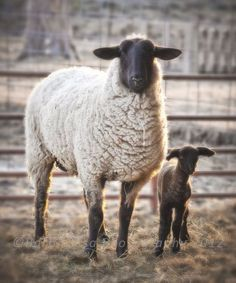 Spring lamb and ewe