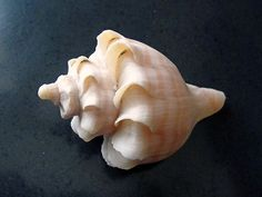 A Neptunea Species From The Buccinidae Is A Trophy Snail You'll Agree! | eBay - $55.00