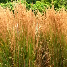 Calamagrostis x acutiflora - 'Karl Foerster' = my favorite ornamental grass. Can't go wrong with this plant.