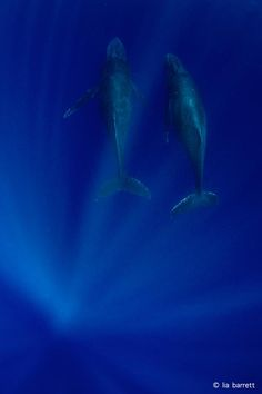 Stunning humpback whales going about their business in Tonga.