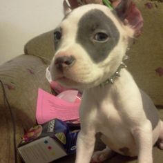 Visit us at http://pitfriendzy.com and post pics of your #pitbull!