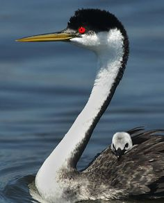 Grebe and Baby by casey christie on Capture Kern County // Western Grebe and baby on Isabella Lake.