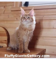 CFA & TICA registered cattery in SE Michigan, we are an in-home Maine Coon breeder, with European Champion bloodlines sire & dames. Maine Coon Kittens, Kitten For Sale, Cattery, Discord, Michigan, Oc, Cats, Animals, Gatos