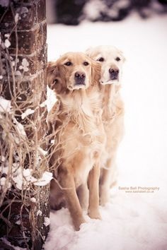 Beautiful pair of Goldens….what a great photo! Snow #SnowDogs Merry Christmas Card Puppy Holiday Dogs Santa Claus Dog Puppies Xmas #HolidayDogs Golden Retrievers
