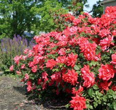 The Double Knock Out® Rose | Star® Roses and Plants