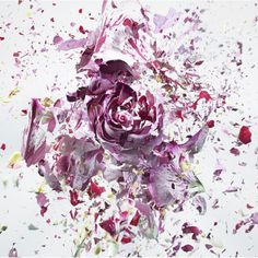 Rapid Bloom is the latest series of the photographer Martin Klimas which dips flowers in liquid nitrogen and is then exploded with an air gun. The flowers appear distorted as their structure and texture are undermined.