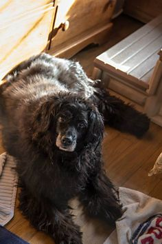Ewok is 15 and is the sweetest senior dog ever. She came to saints in 2011 with her brother smokey after her elderly owner went into a permanent care facility. Smokey has since passed away.  Sponsored by  Kim Howcroft