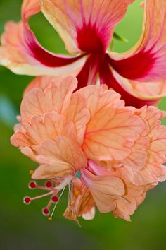 Double Hibiscus Photograph by Roger Mullenhour - Double Hibiscus Fine Art Prints and Posters for Sale