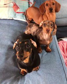 Weenie Dogs, Dachshund Puppies, Dachshund Love, Cute Dogs And Puppies, Baby Dogs, Teacup Dachshund, Funny Puppies, Daschund, Chihuahua Dogs