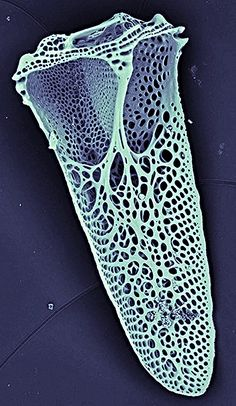 "Pedicellaria : appendage of sea urchin, ( genus sperosoma : coated / calcified : 100 x magnification  ). Pedicellariae are positioned on moveable stalks and are distributed between the spines and tube-feet of sea-urchins. Some of the collagen in the pedicellaria is of the ""catch"" type, that is, it is at one moment stiff and supportive and, at the next, soft and flexible.   [SEM by Daniel Leduc ] specimen in low vacuum mode. Hitachi TM3000 Benchtop Scanning Electron Microscope (SEM)"