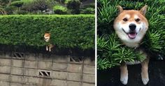 This Shiba who got caught on his way to work.   11 Shibas Who Keep Getting Stuck In Things