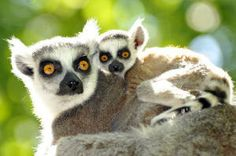 """""""Lemur Babies of Older Moms Less Likely to Get Hurt...Of all the factors studied, the one that had the most significant impact on infant injury and survival rates was the age of the mother. Infants that avoided injury were born to mothers who were two years older on average than the mothers of infants that were badly bitten. The results held up even when the mothers were first-time moms..."""""""