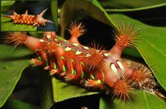 Caterpillars from China's Rain Forest | Do not make this stinging slug caterpillar annoyed. The inset at upper left shows the relaxed caterpillar