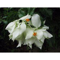 Mudas De Flores Mussaenda Branca - Já Florem