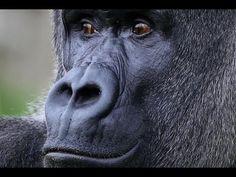 "Shabani ""the handsome gorilla"" or ""ikemen"""