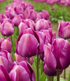 Rows of Purple Tulips. I am looking forward to Spring and the Skagit Valley Tulip Festival.